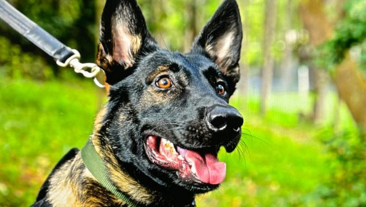 Como são treinados os cães policiais da PM Paulista?